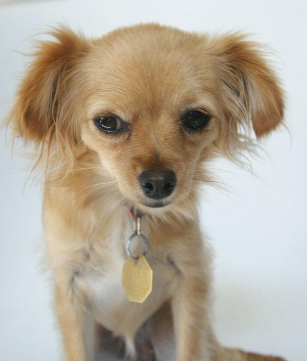 Long Hair Chihuahua Mix