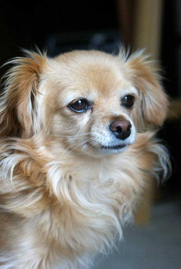 ChihuahuaMixDogOct2015