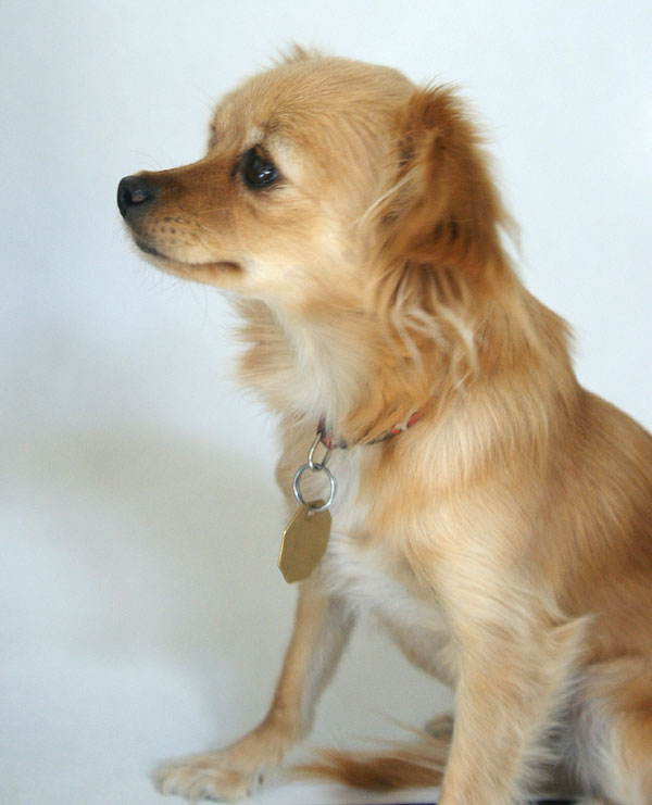 Long Hair Chihuahua Mix